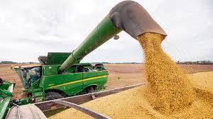 Maíz: lento avance de la cosecha en la región