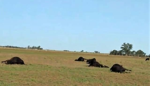 Murieron 29 vacas por intoxicación en La Pampa.