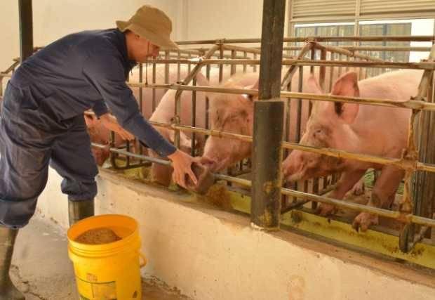 Gran escalada de los costos de alimentación en cerdos