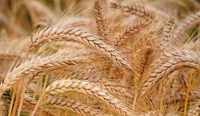 Cebada: un cultivo clave para la región de Bahía Blanca