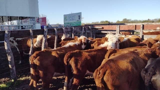 Se veía venir: las vacas conserva vuelven a los campos a morir