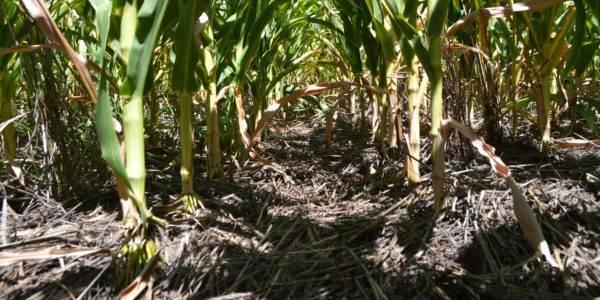 Cultivos de cobertura: Reducen el uso de fitosanitarios, disminuyen la brecha productiva y es una inversión con retorno