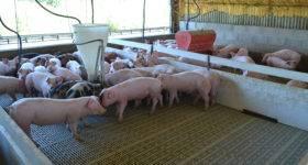 Porcinos: $76 millones para cooperativas bonaerenses