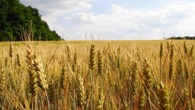 El trigo tampoco tiene límites