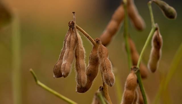 La decisión de China que podría cambiar el mercado mundial de la soja