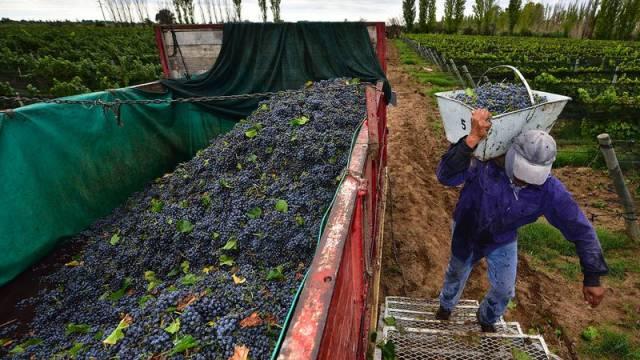 El Gobierno puso piso al precio de las uvas criollas y malbec