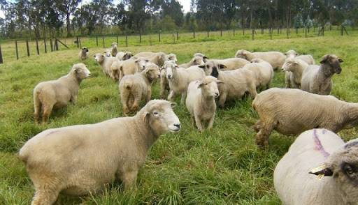 Ley Ovina: Aprueban 24 proyectos para productores bonaerenses