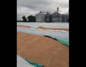 Ahora fue el turno de Bolívar. Rompen cuatro silo bolsas con grano de soja perteneciente a la Cooperativa Agrícola