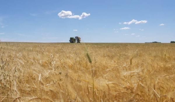 Se registraron dos nuevas variedades de trigo candeal